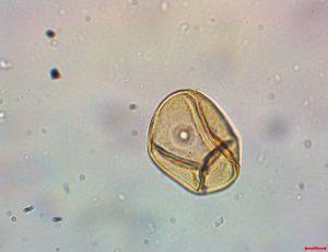 Poaceae, baden, Ciprovac